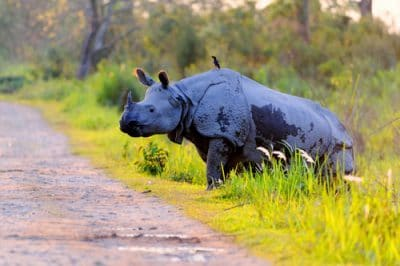 Kaziranga Rhino Photography Tour