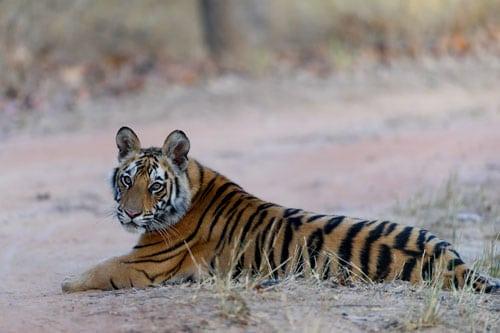 Tiger Cub Back Bandhavgarh