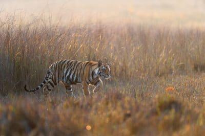 Tiger Cub Peeps Tree Bandhavgarh