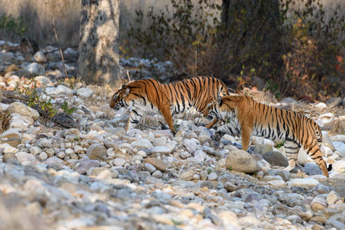 Tiger siblings - corbett jungle stay and photography tour