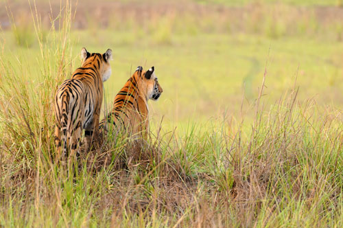 Tiger siblings Watching Tadoba