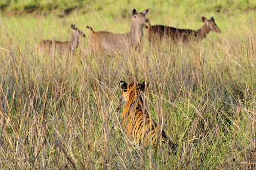 tiger watching sambar tadoba