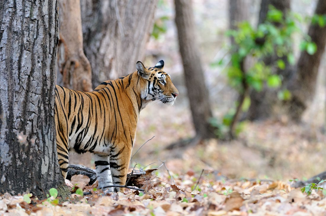 Bandhavgarh Tiger Photography Tour