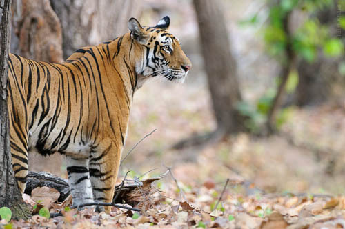 Tigress Profile Bandhavgarh