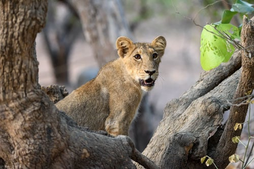 Asiatic Lion Photography Tour at Gir