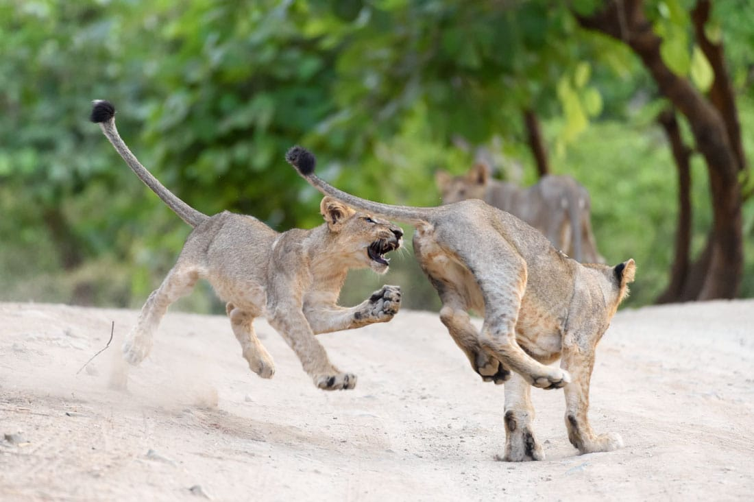 Asiatic Lion cubs playing