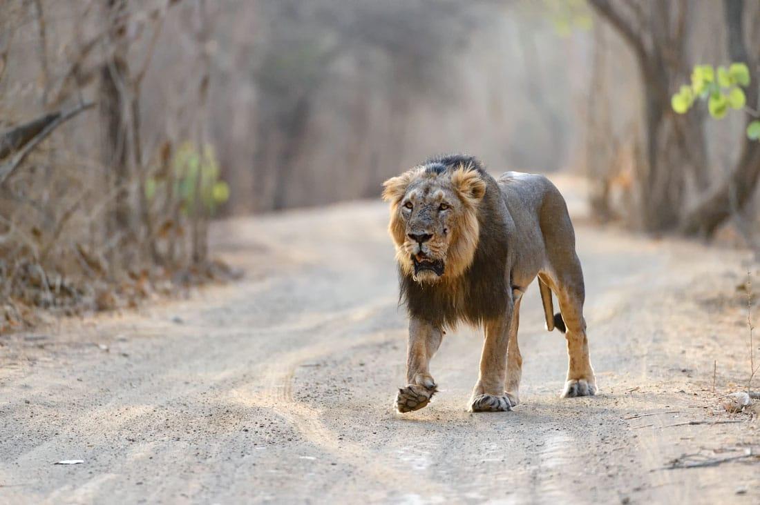 Asiatic Lion Photography Tour at Gir