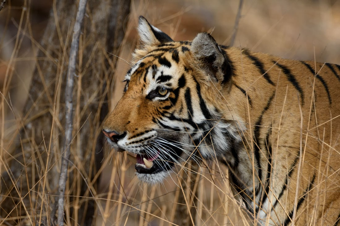 Tigress closeup ranthambore