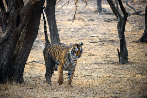Tigress Marking Ranthambore