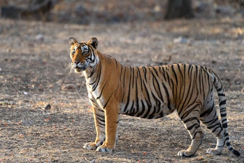 Tigress standing ranthambore wildlife photo tours