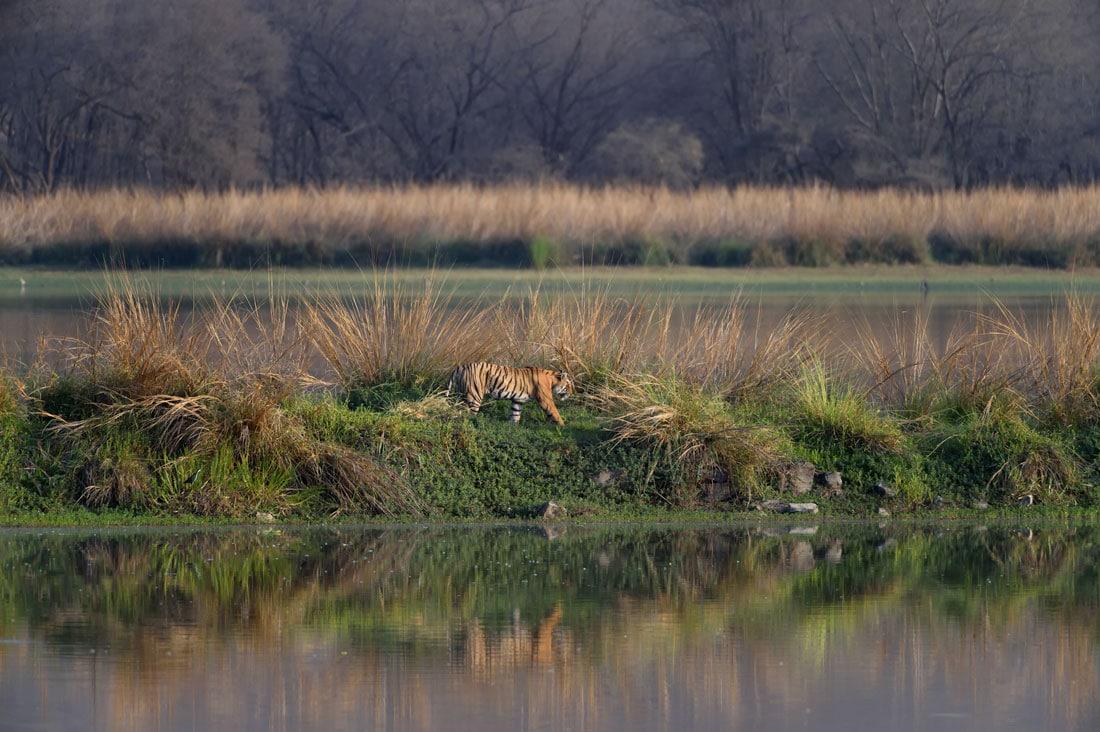Top Wildlife Destinations India - Tigress walking lake ranthambore