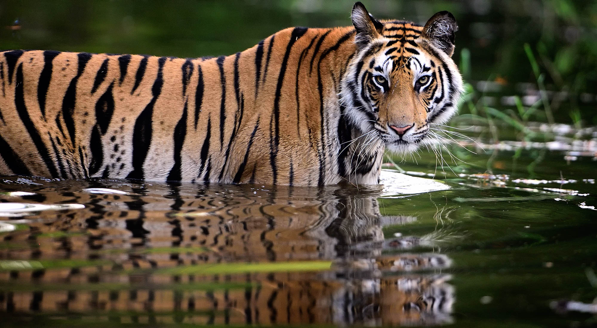 Tiger water - bandhavgarh - wildlife photography tours