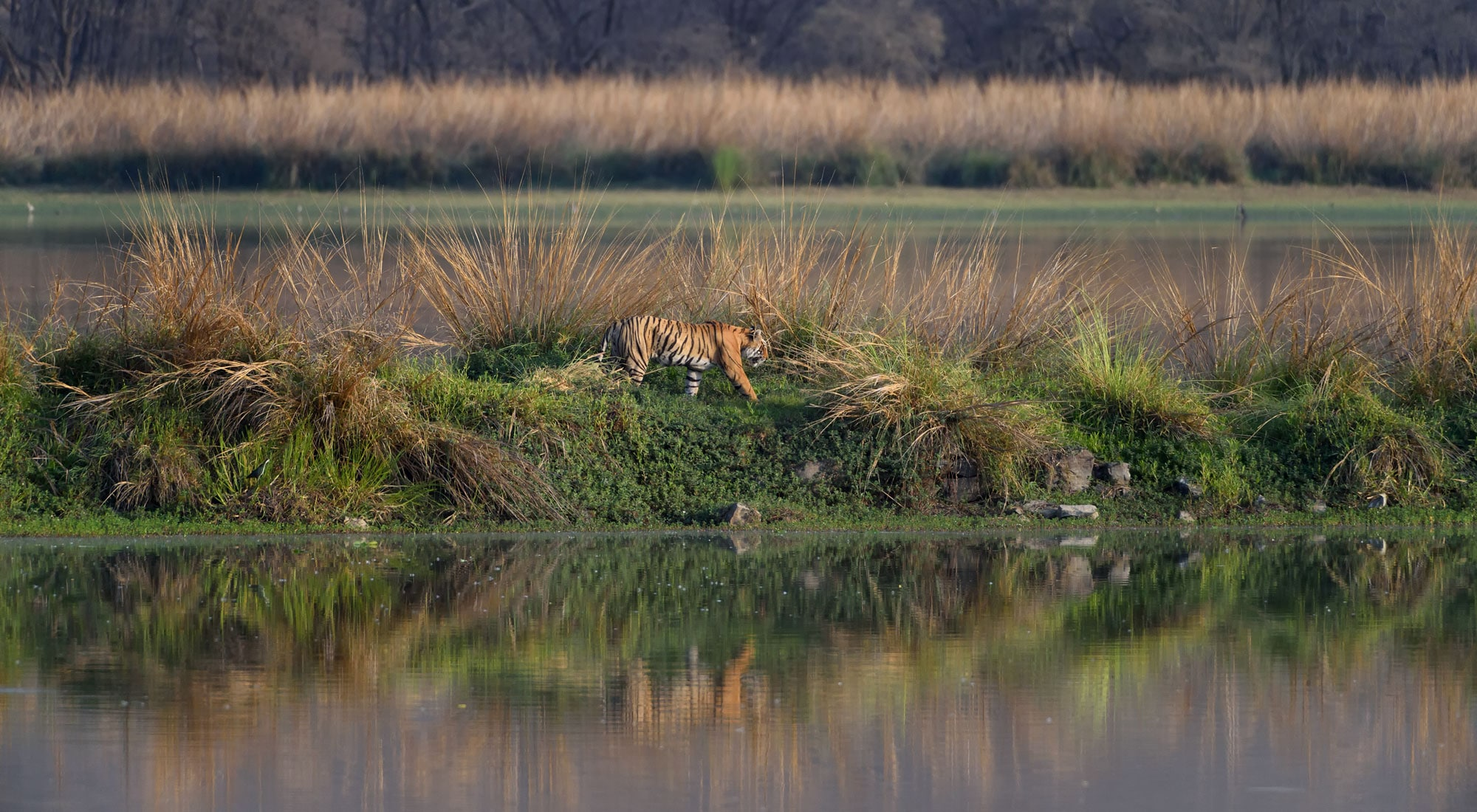 Tigress lake ranthambore talat