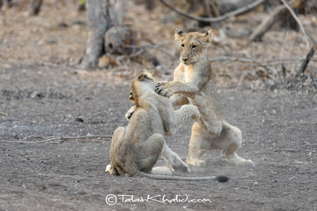 Asiatic Lion Cubs Playing in Gir