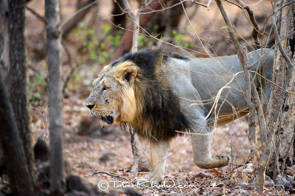 Asiatic Male Lion walking in gir