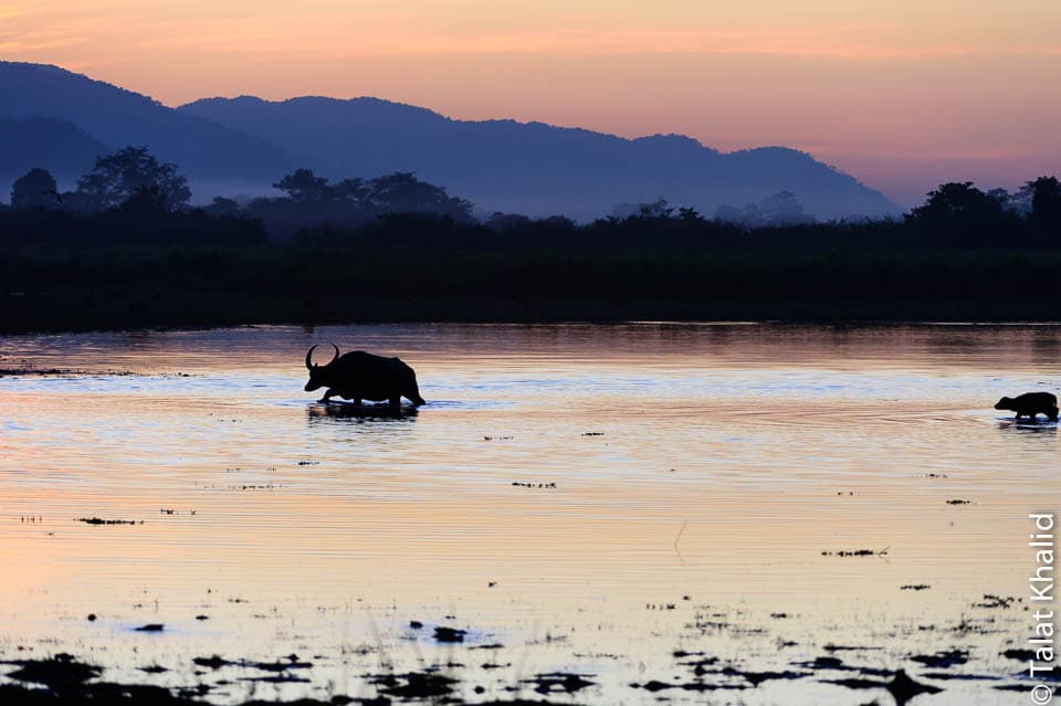 water buffalo and calf silhouette crossing water in kaziranga at sunset