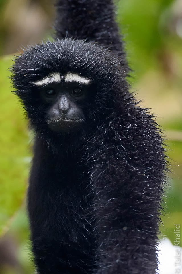 Hoolock gibbon male