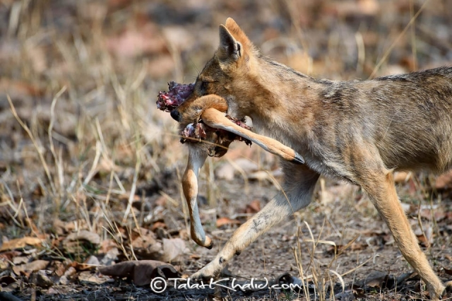 Jackal with Cheetal Kill at pench