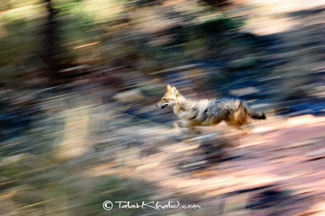 Jackal slow pan at bandhavgarh