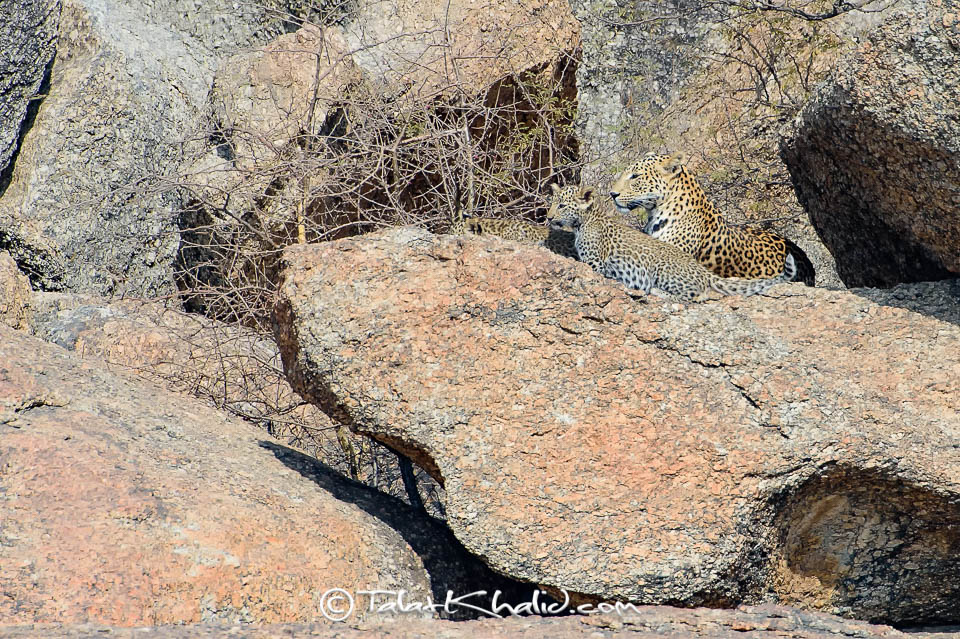 Leopard and cub habitat camouflage at Bera