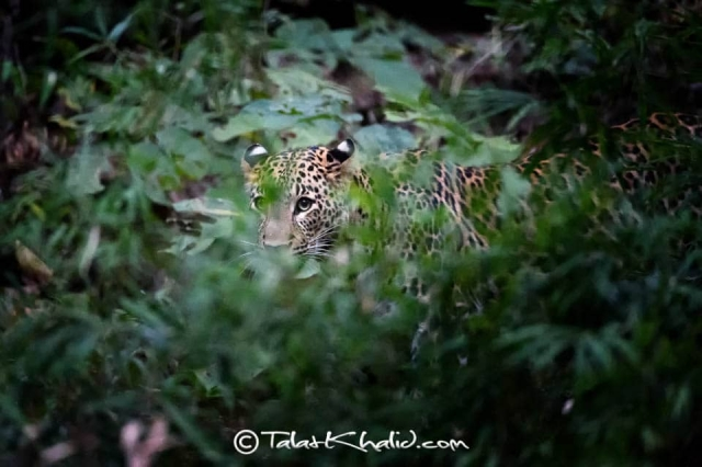 Leopard in foliage at bandhavgarh
