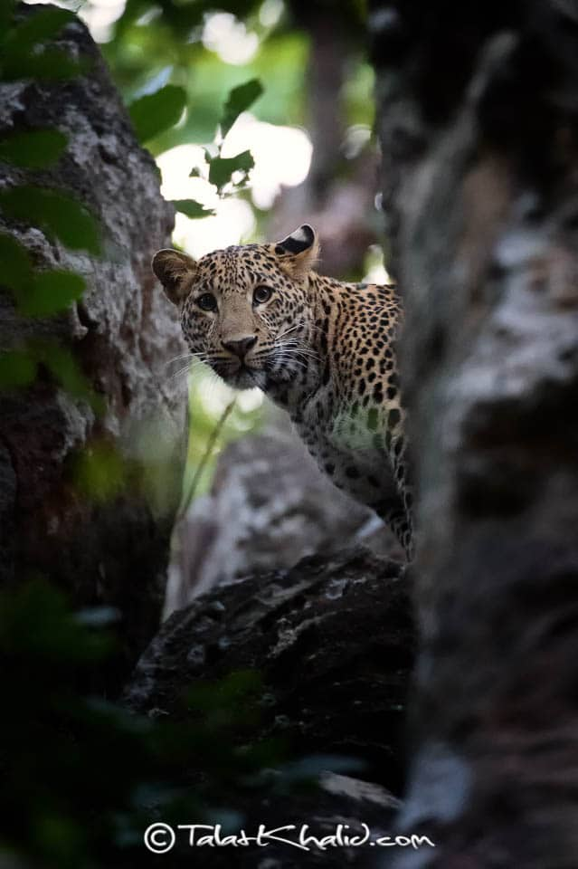 Leopard peeping through rocks bandhavgarh