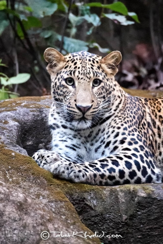 Leopard portrait at bandhavgarh