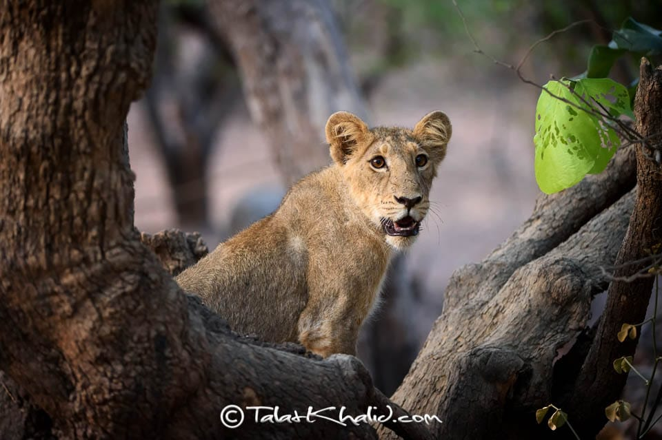 Asiatic Lion Cub at Gir