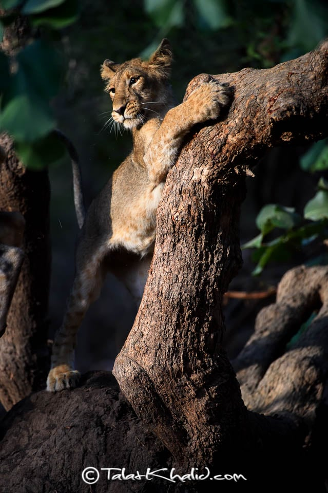 Asiatic Lion Cub on tree at Gir