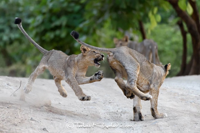 Asiatic Lion Cubs playing at Gir