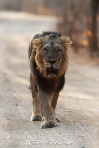 Asiatic Lion Male at Gir
