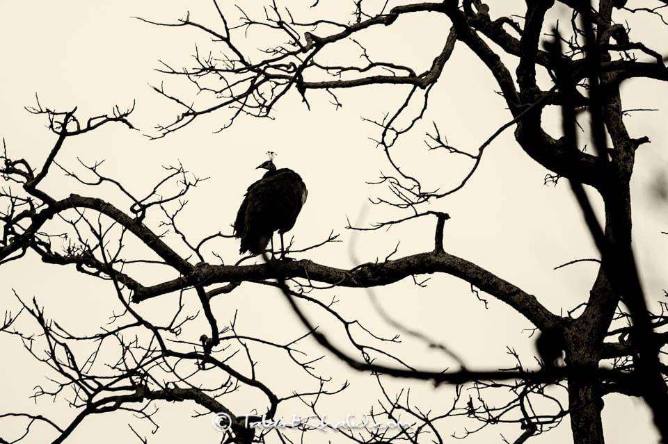 Peacock Silhouette on tree at ranthambore monochrome