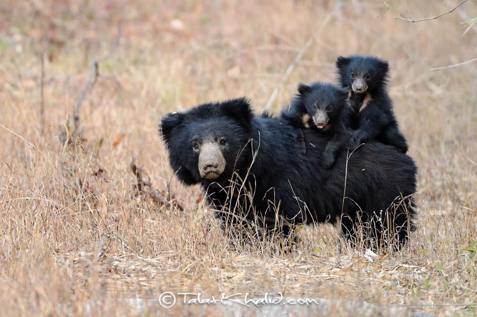 Sloth Bear Mother with Cubs on Back at Tadoba