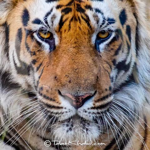 Tiger Closeup Portrait bandhavgarh