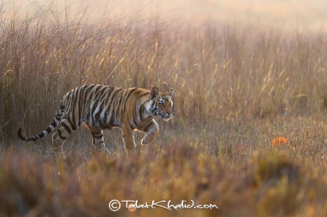 Tiger cub backlit at bandhavgarh