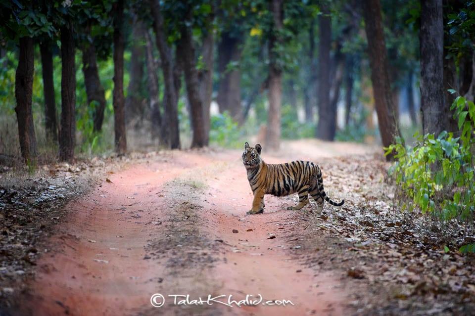Tiger cub at bandhavgarh