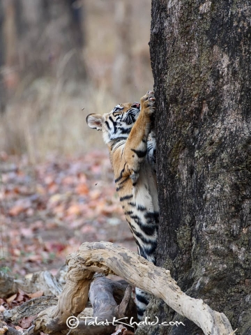 Tiger cub tree at bandhavgarh