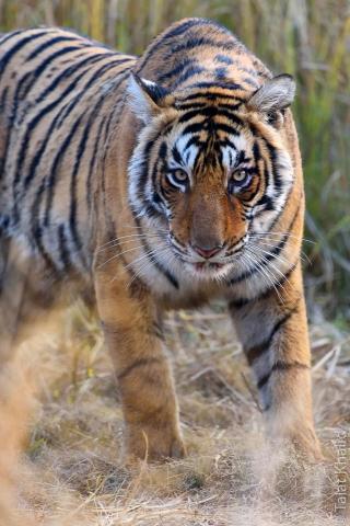 Tiger stare at Ranthambore
