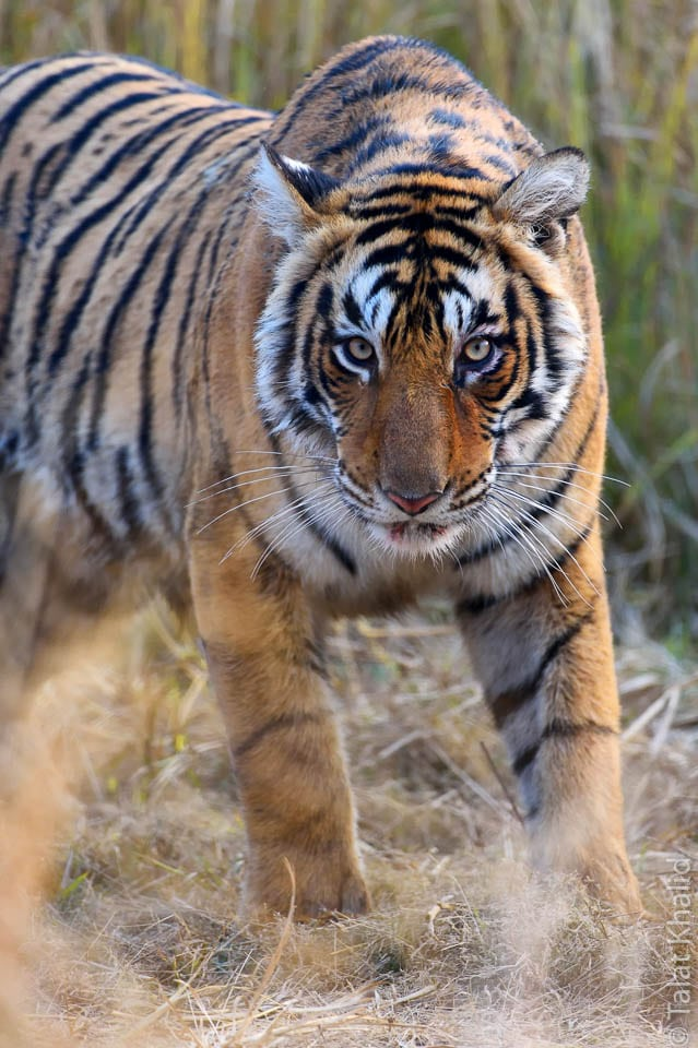 tiger stare - ranthambore - tiger photography