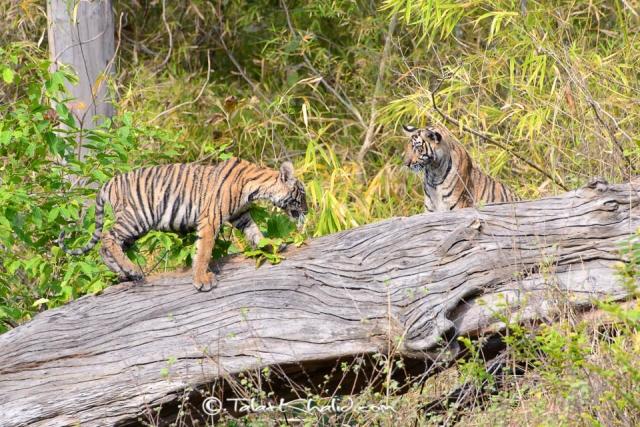 Tiger cubs at tadoba on fallen tree