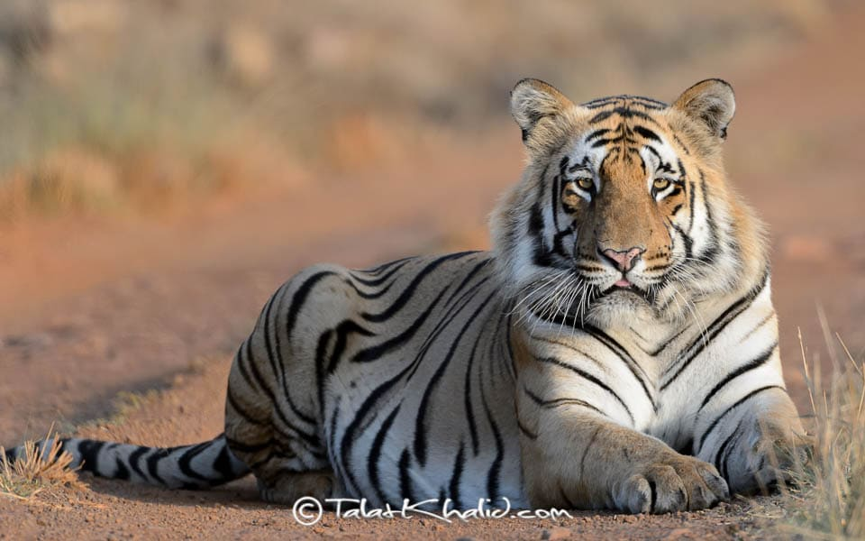 Tiger male in golden light at tadoba