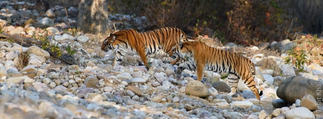 Tigers crossing dry river bed at corbett