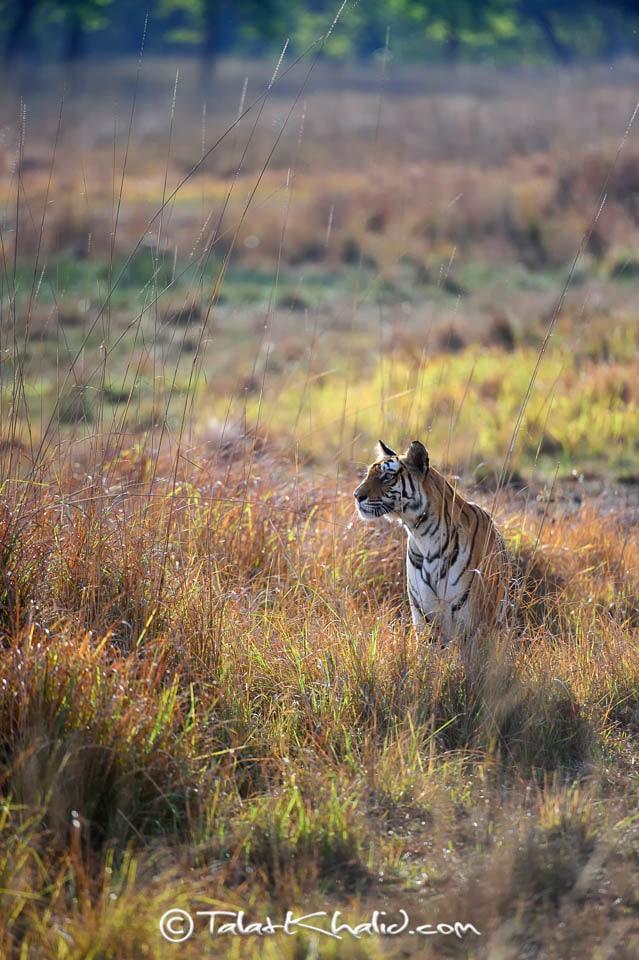 Tigress backlit at bandhavgarh