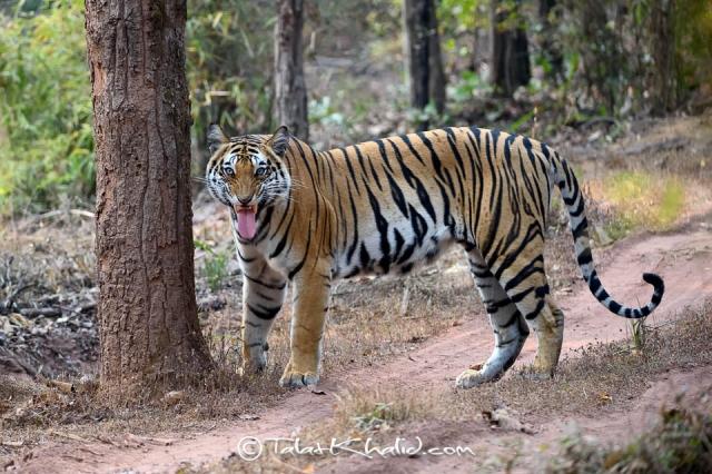 Tigress flehmen reaction at bandhavgarh