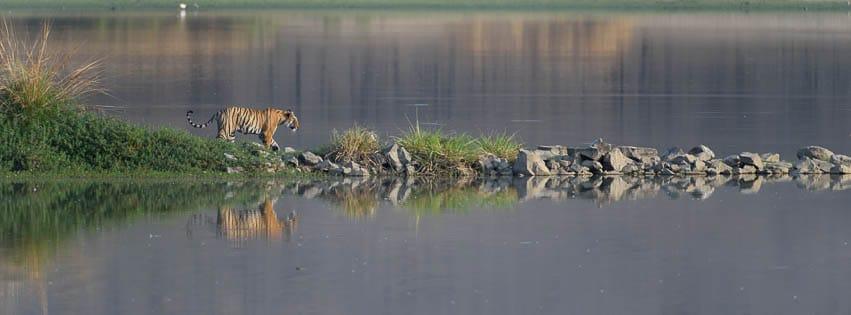 Tigress crossing rajbagh lake at ranthambore