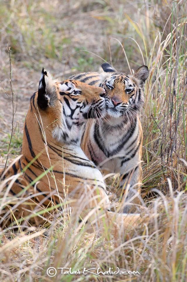 Tigress mother kissing cub at bandhavgarh