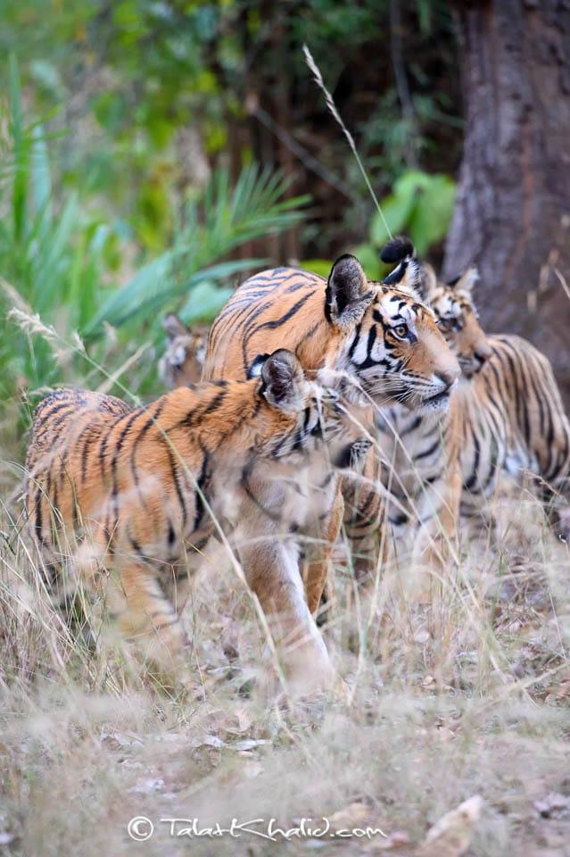 Tigress cubs bandhavgarh