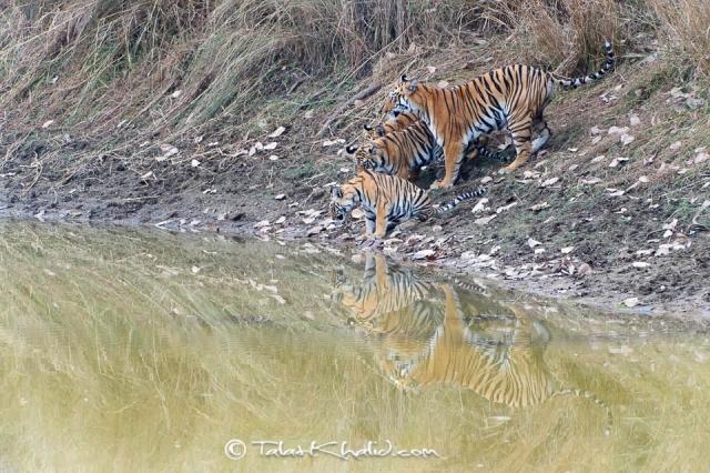 Tigress with cubs at waterhole at tadoba