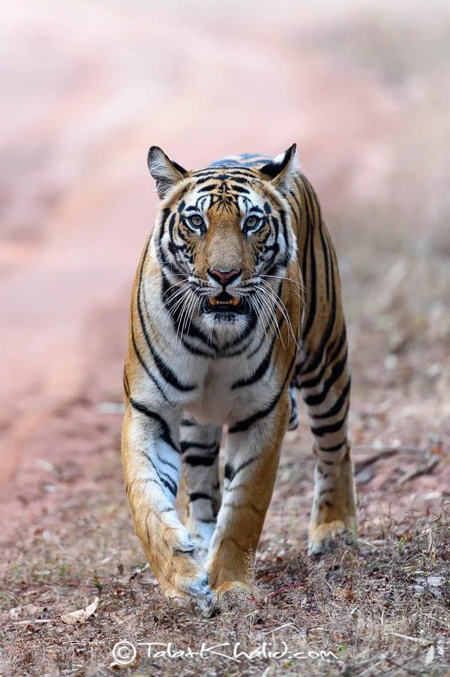 Tigress headon at bandhavgarh