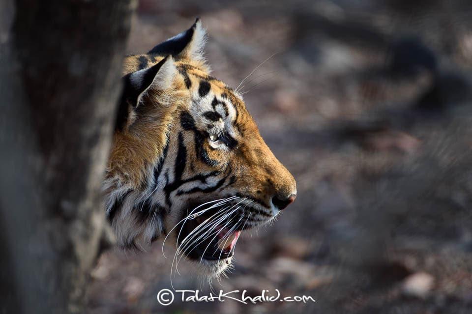 Tigress kankati at ranthambore